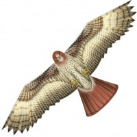 Birds of Prey Hawk