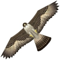 latawiec-birds-of-prey-falcon